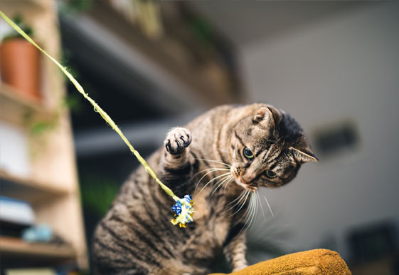 Cat playing with a toy on a string