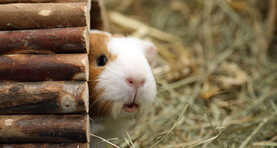 Guinea pig poking its head out of a hole